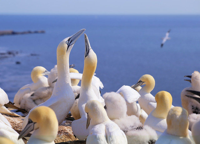 Mating dance of Northern Gannets on Helgoland