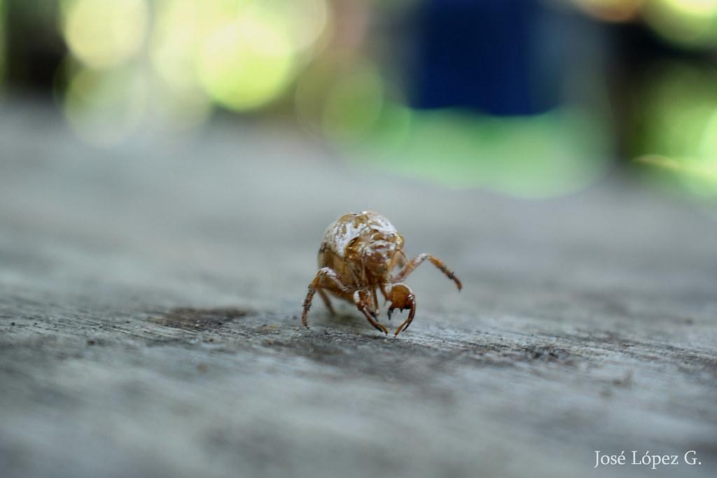 Cascaron de insecto