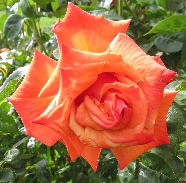 Pretty Peach coloured Rose...