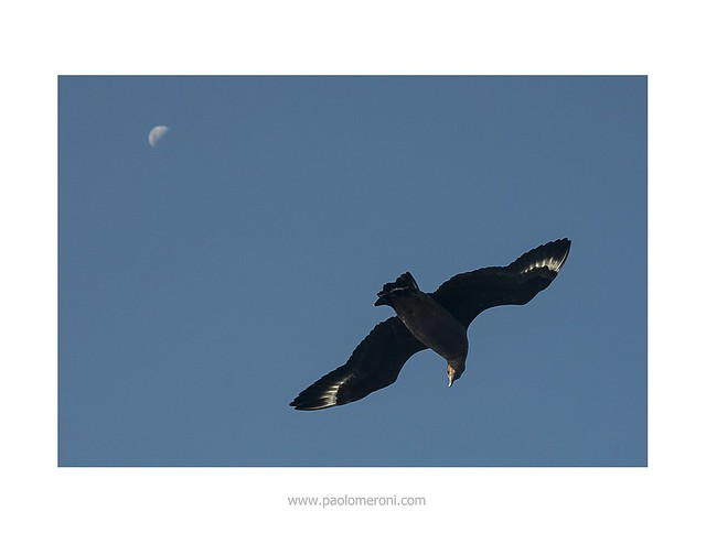 Skua (Catharacta antarctica) Www.paolomeroni.com  Thanks to Fotocolombo.it