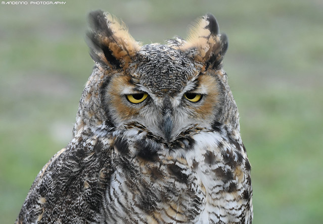 African eagle owl - Falconry Fair