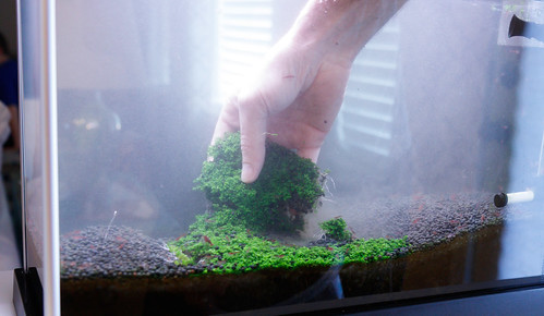 removing HC cuba grass in plated nano aquarium