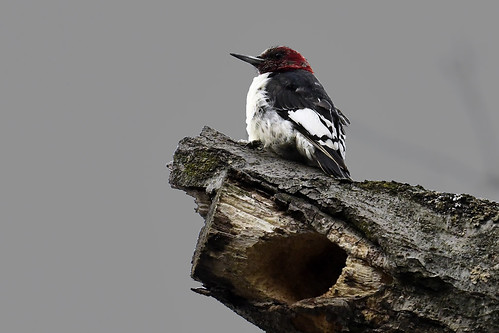 Queens, NY: Red-headed Woodpecker