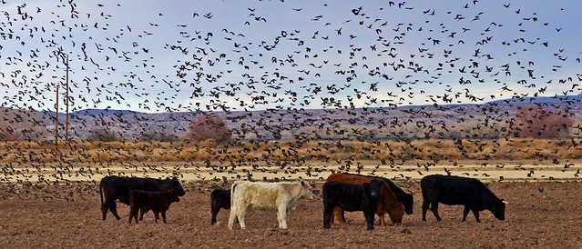 Cows and blackbirds.  San Antonio, Socorro Co., New Mexico, USA.