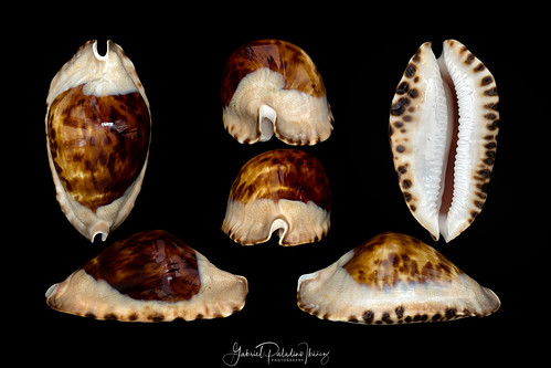 Zoila marginata marginata f. consueta (Biraghi, 1993)