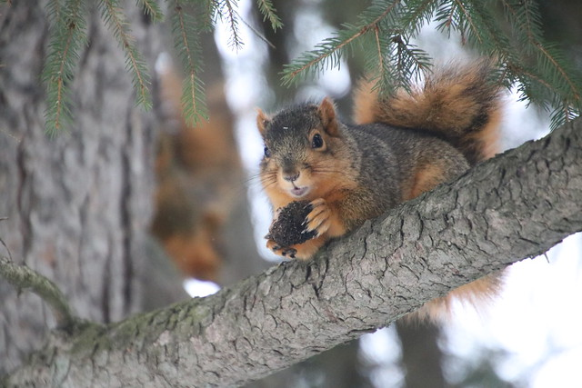 203/366/4220 (December 31, 2019) - Squirrels During Our Visit to Curtiss Park With Runyon (Saline, Michigan) -  December 31st, 2019