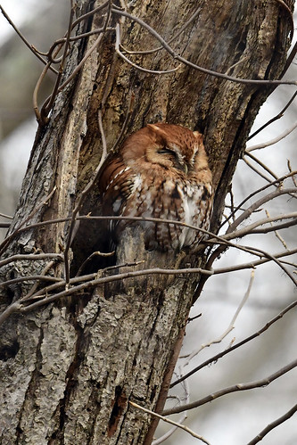 Long Island: Eastern Screech-Owl