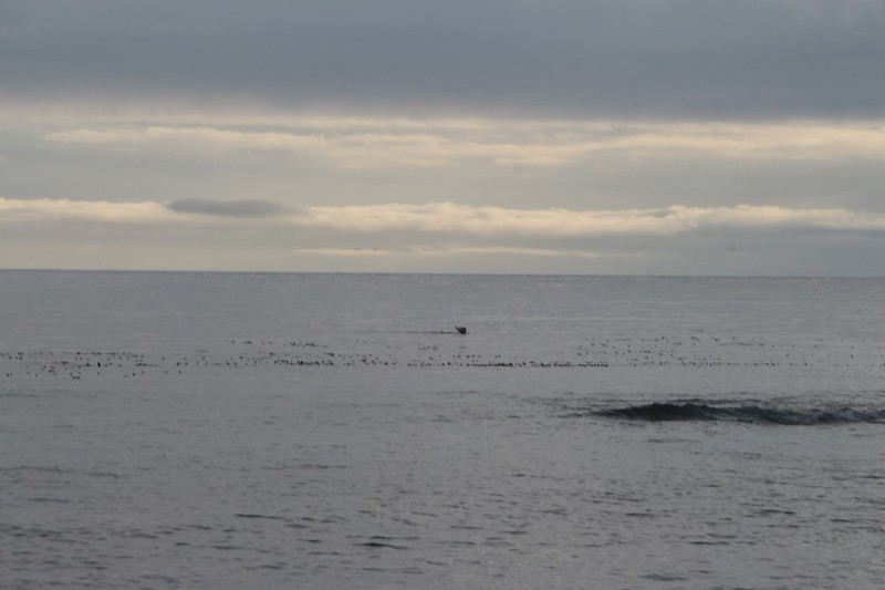 There was a whale playing in the kelp bed just offshore at the Walbran Creek Campsite on the West Coast Trail
