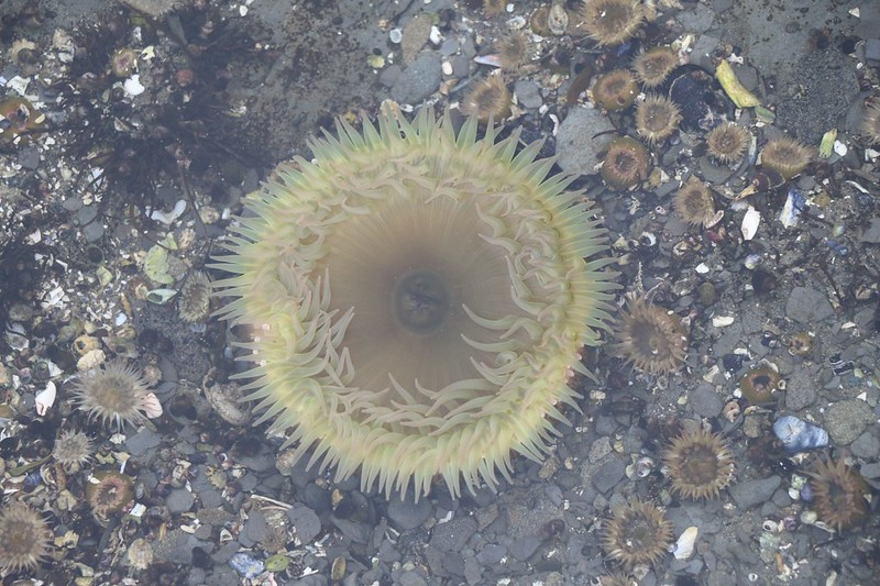 Fully opened Anemone(s) in a tidepool on the rocky shore