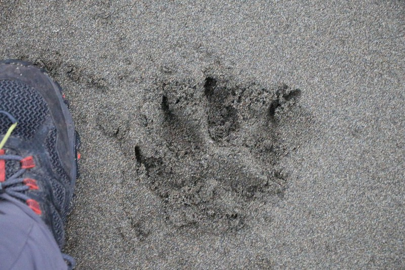 Large Bear Track in the sand that we discovered near our tent in the morning at Cribs Creek on the WCT