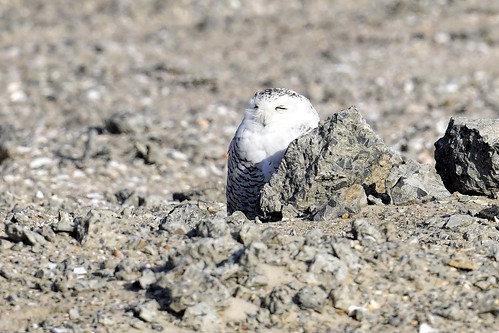 NY: Snowy Owl