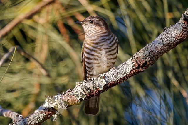 Shinning Bronzed-Cuckoo