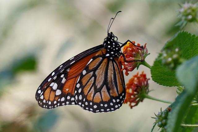 Monarca del Sur (Danaus erippus)