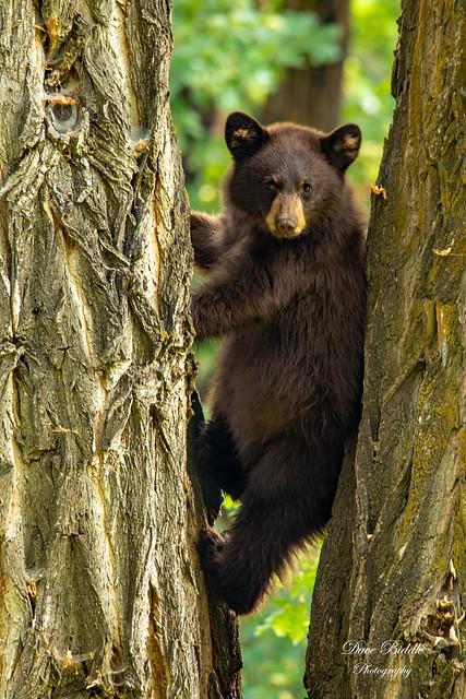 Bear wedgey!