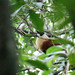 Black-faced Coucal (3)