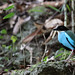 Azure-breasted Pitta (241)