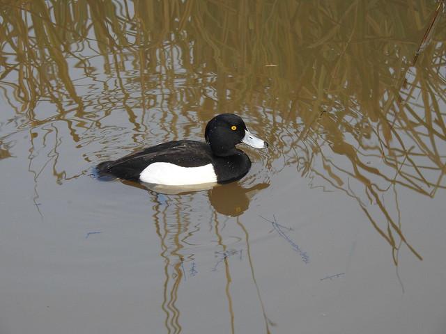 Tufted Duck DSCN3800
