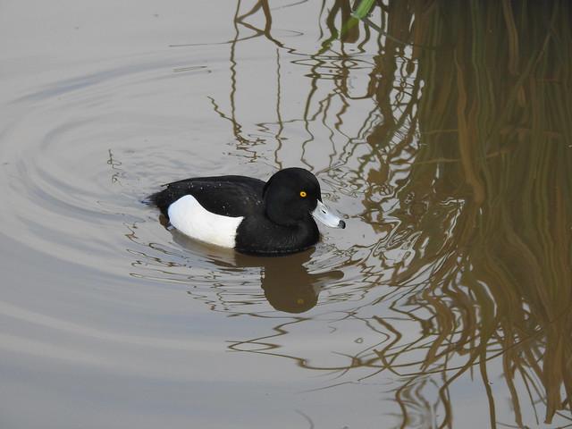 Tufted Duck DSCN3795