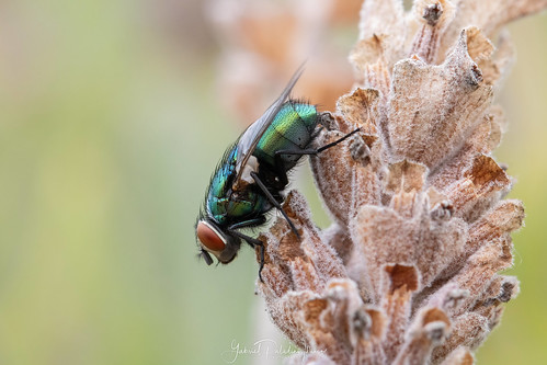 Calliphoridae | by Gabriel Paladino Photography