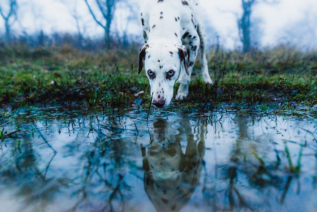just another dog - blue eyed dalmatian