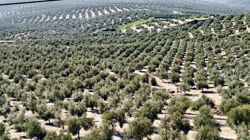 Mar de olivos en Begíjar Andalucía - IMG_20191231_131315