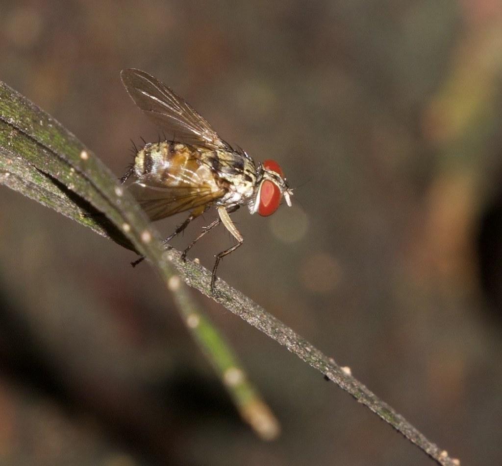 Stylogaster fly_Guyana_Ascanio_199A5098