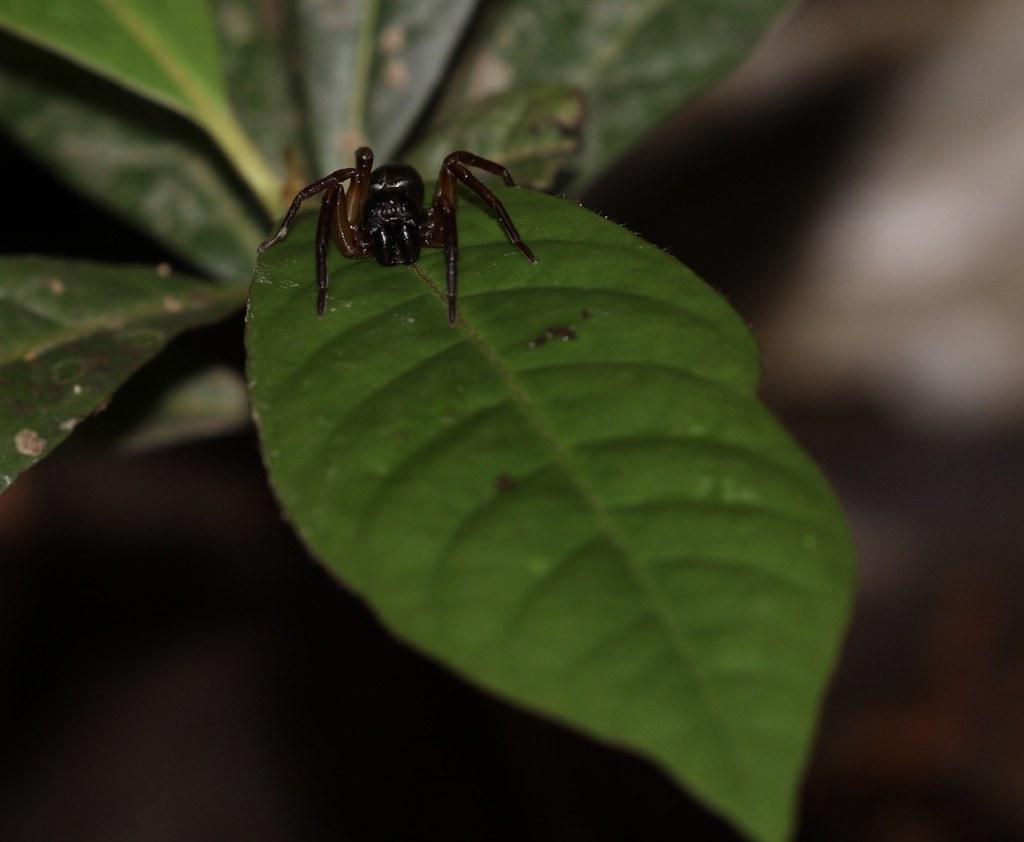 Spider_Guyana_Ascanio_199A5106