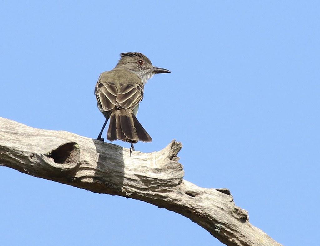 Short-crested Flycatcher_Myiarchus ferox_Guyana_Ascanio_199A4017_2