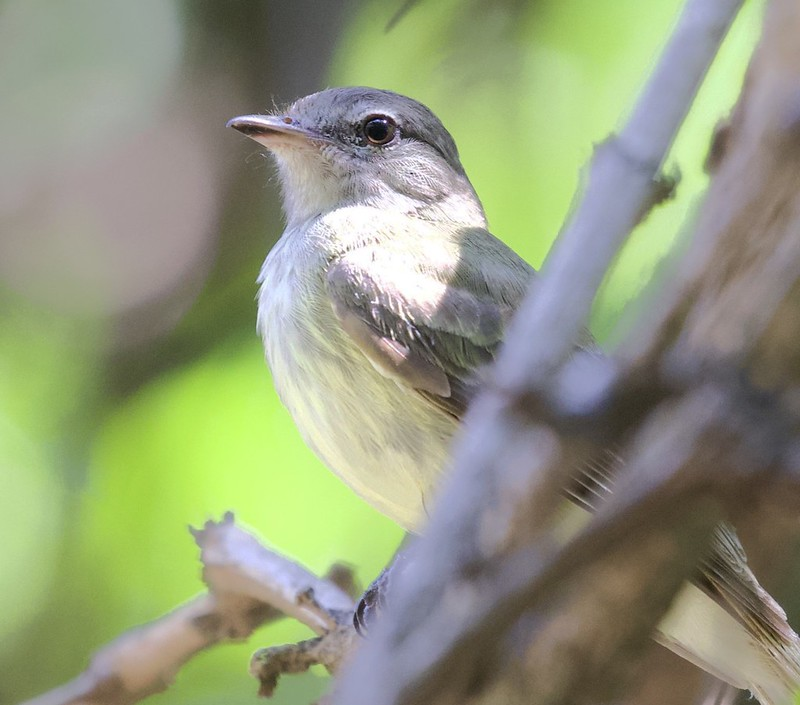 White-winged Becard_Pachyramphus poliochopterus_Female_Ascanio_Guyana_199A8235