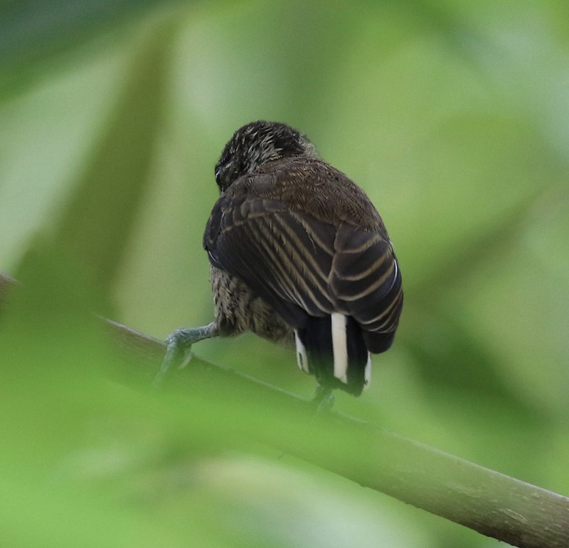 White-bellied Piculet_Picumnus spilogaster_Guyana_Ascanio_199A4472