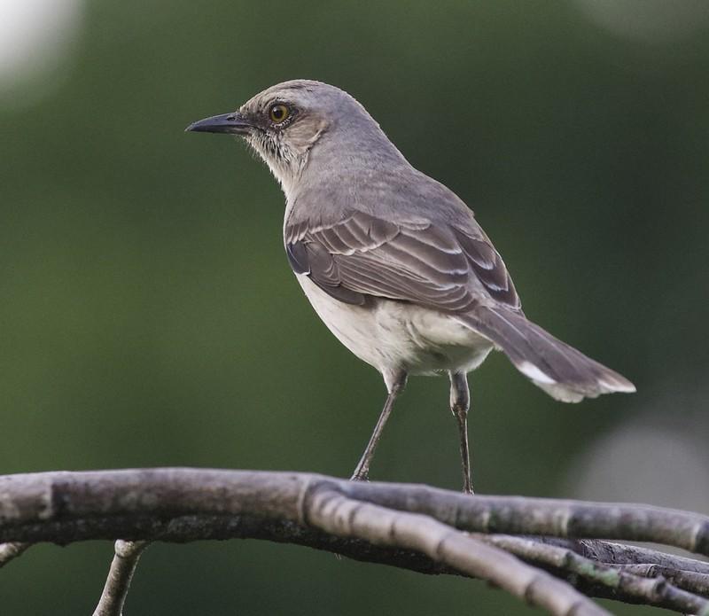 Tropical Mockingbird_Mimus gilvus_Guyana_Ascanio_199A3847