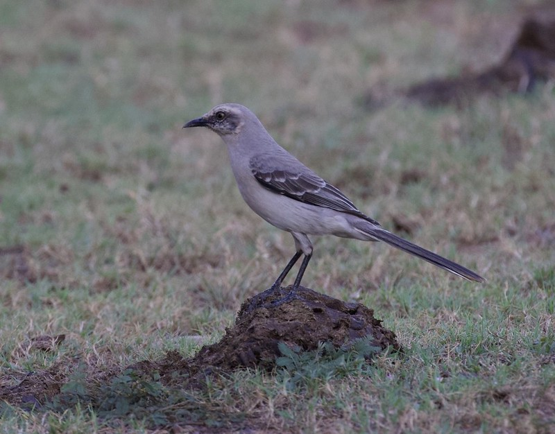 Tropical Mockingbird_Mimus gilvus_Ascanio_Guyana_199A6322