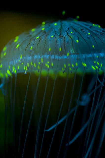 Olindias formosus - Flower Hat Jellyfish