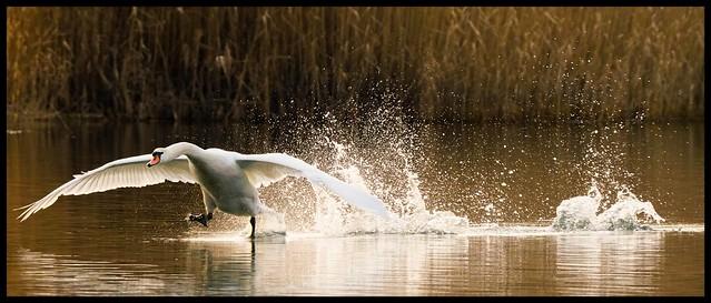 Swan in beautiful light