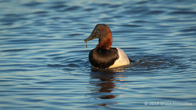 Muddy Water Drops From The Bill Of A Canvasback Duck As It Churns Up The Swallow Water