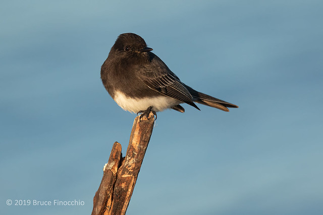 Late Evening Light Strikes A Black Phoebe On A Well Worn Perch
