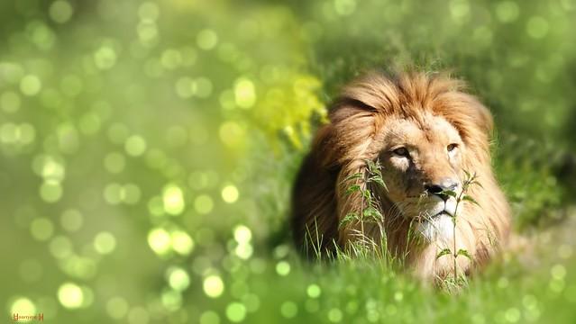 Lion - 7923