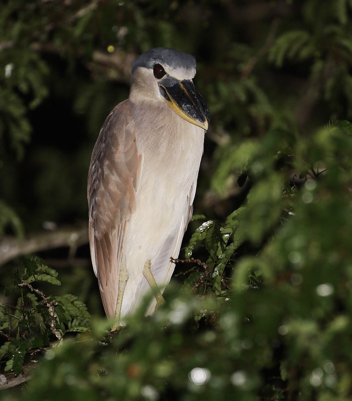 Boat-billed Heron_Cochlearius cochlearius_Ascanio_Guyana_199A4915