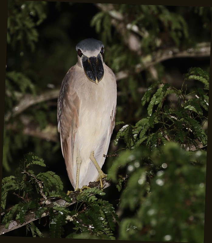 Boat-billed Heron_Cochlearius cochlearius_Ascanio_Guyana_ 199A4916