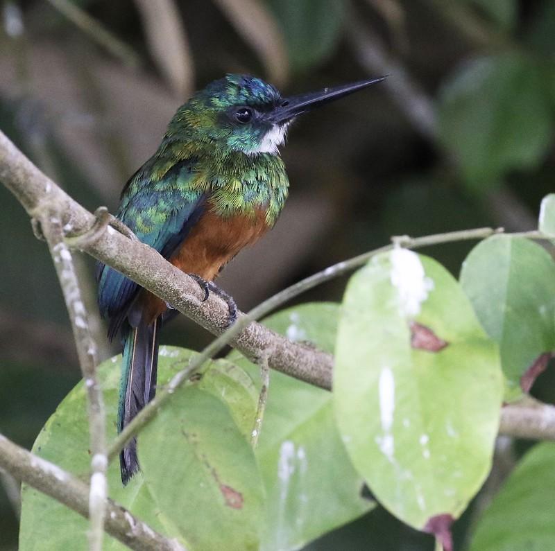 Green-tailed Jacamar_Galbula galbula_Ascanio_Guyana_199A4632