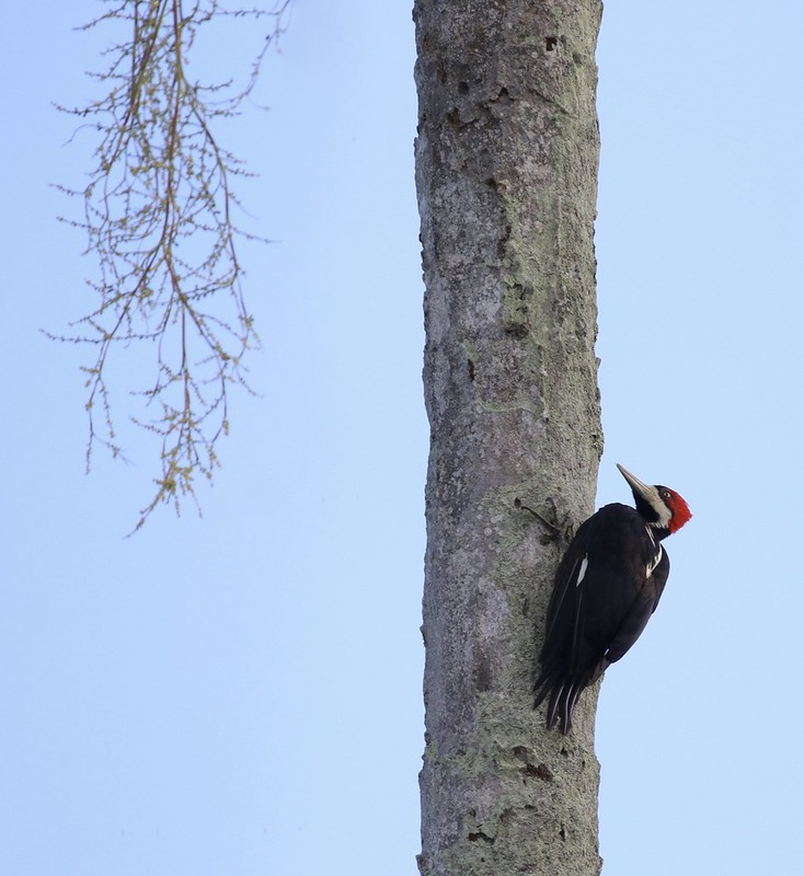 Crimson-crested Woodpecker_Campephilus melanoleucos_Ascanio_Guyana_199A3836