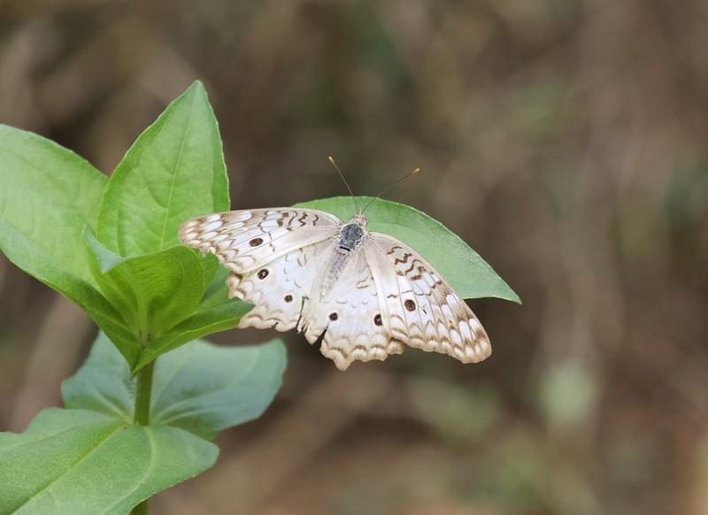Butterfly_Guyana_Ascanio_199A5766