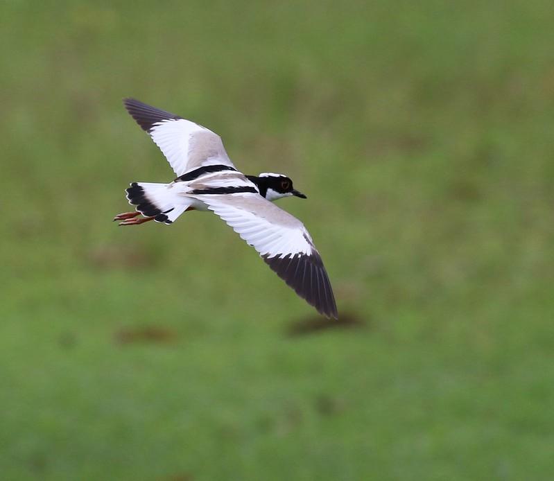 Pied Lapwing_Vanellus cayanus_Ascanio_Guyana_199A5273