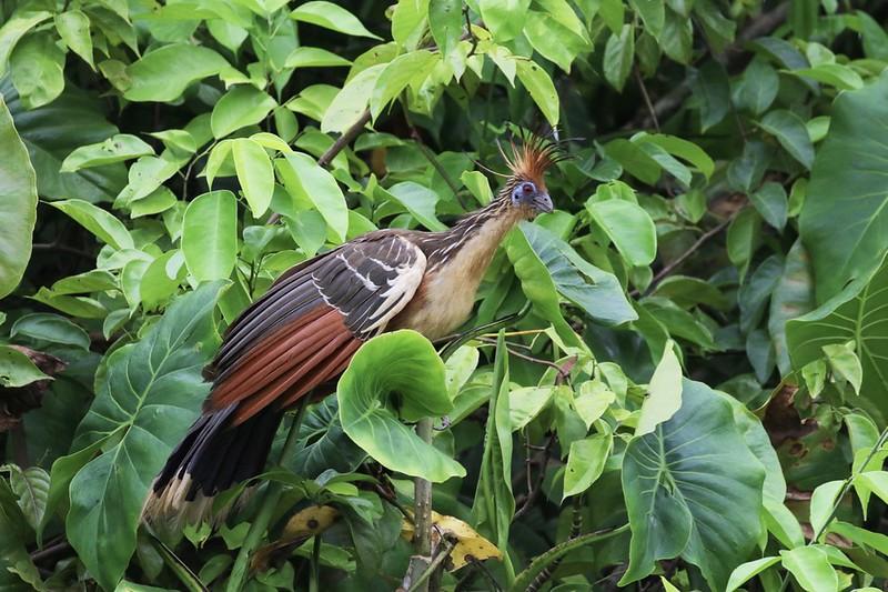 Hoatzin_Opisthocomus hoazin_Guyana_Ascanio_199A4672