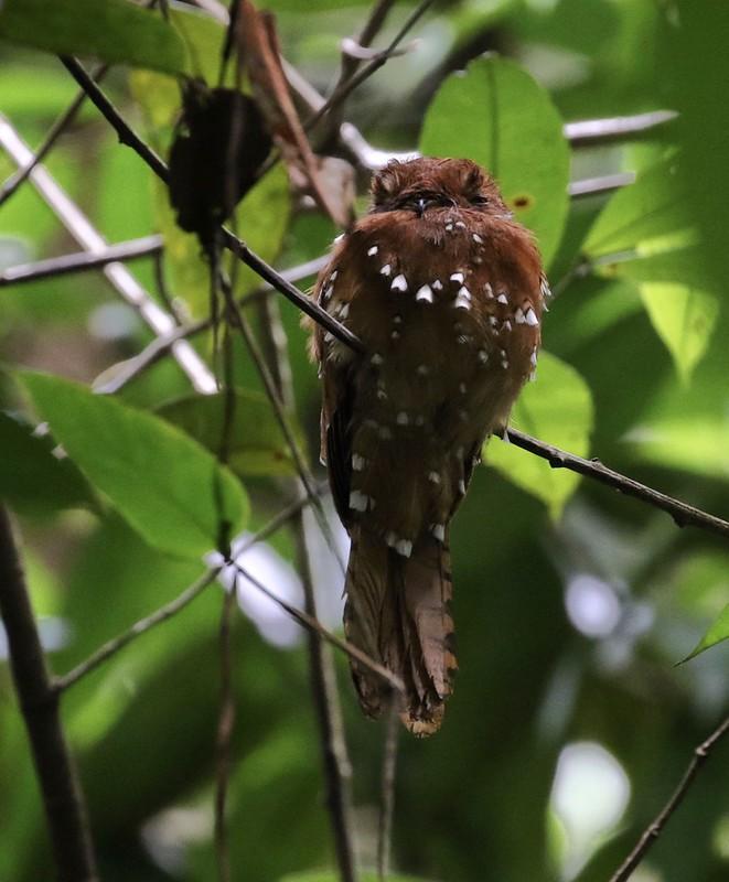 Rufous Potoo_Nyctibius bracteatus_Ascanio_Guyana_199A5311