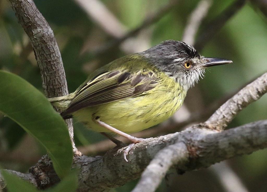 Spotted Tody-Flycatcher_Todirostrum maculatum_Ascanio_Guyana_199A3856