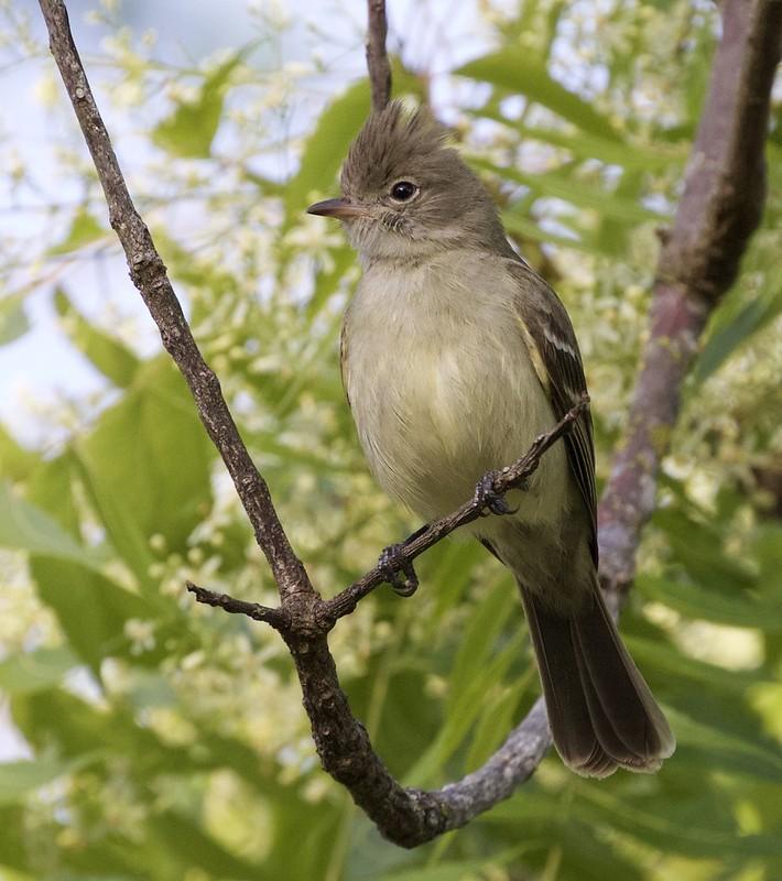 Yellow-bellied Elaeina_Elaenia flavogaster_Guyana_Ascanio_199A6268