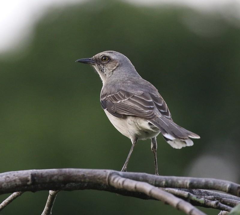 Tropical Mockingbird_Mimus gilvus_Guyana_Ascanio_199A3852