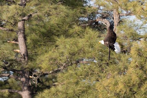 bald_eagle_in_flight-20200101-118