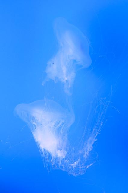 Phacellophora camtschatica - Fried Egg Jellyfish